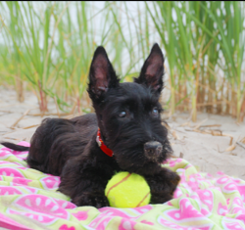 Scottie on blanket at the beach